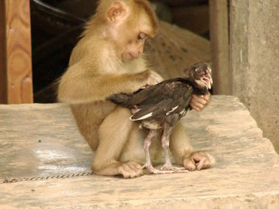 500px-monkey_and_chicken_-_don_khon_-_laos.jpg