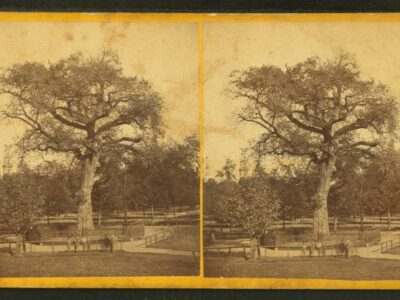 Old Elm Tree on Boston Common as an example of street trees