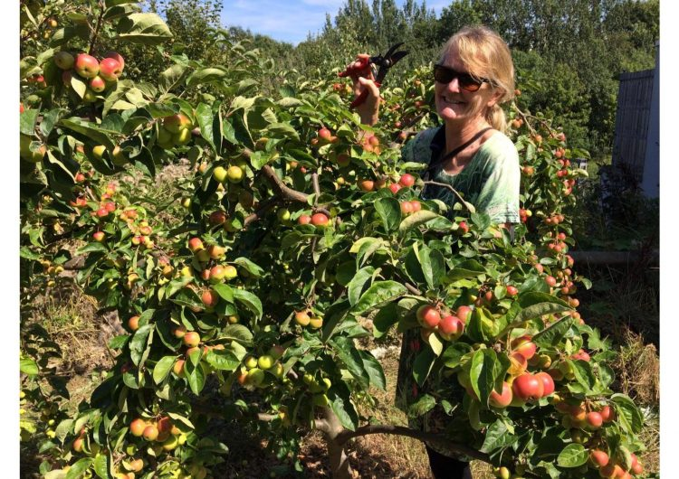 Co-chair catherine pruning picks fruit from the communiy garden wearing sunglasses